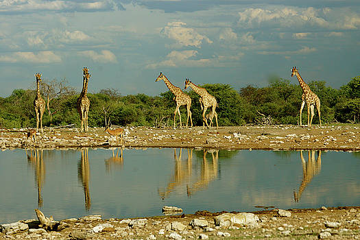 Giraffe Reflection by Jaqueline Briel