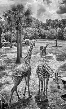 Giraffe Reticulated by Howard Salmon