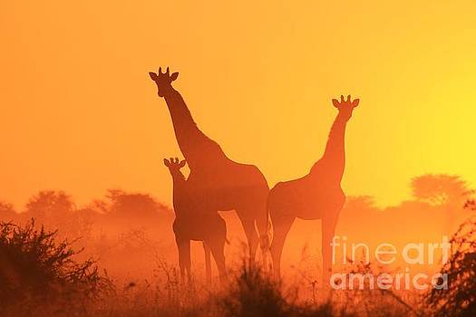 Giraffe Sunset - Portrait of a Golden Family by Hermanus A Alberts