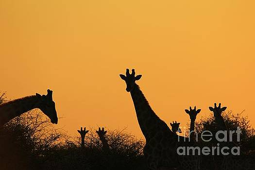 Giraffe Sunset - Silhouette of Peace and Freedom by Hermanus A Alberts
