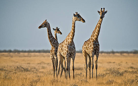 Giraffe Talks by Sandy Schepis