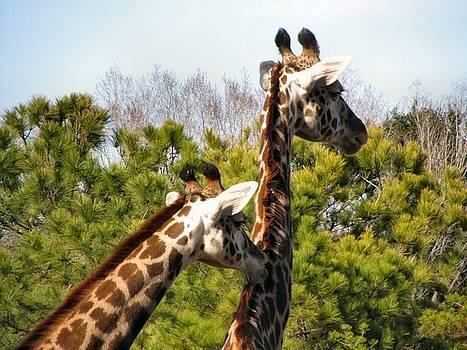 Giraffee Groomers by Camera Candy