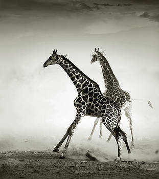 Giraffes fleeing by Johan Swanepoel