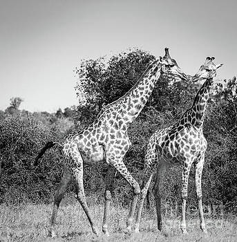 Tim Hester - Giraffes in Africa Black And White