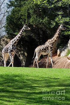 Giraffes by Jill Lang