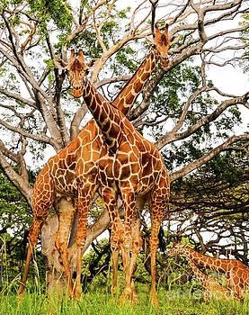 Giraffe's Looking by D Davila