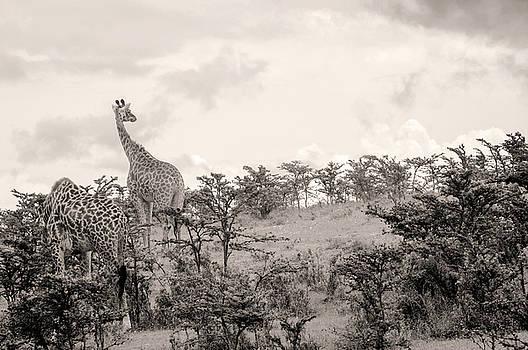 Giraffes by Stefano Buonamici