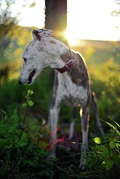 Gitano, rescued Spanish Greyhound by Nano Calvo