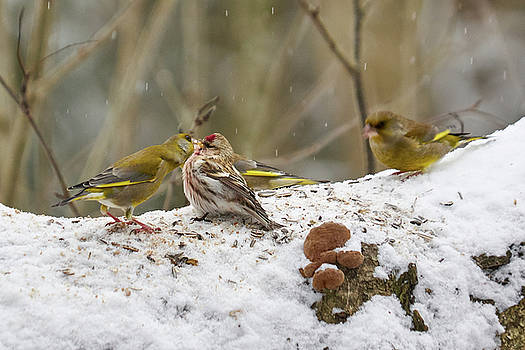 Give me a kiss. Redpolls and greenfinches by Jouko Lehto