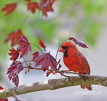 Give Me Shelter - Male Cardinal by Kerri Farley