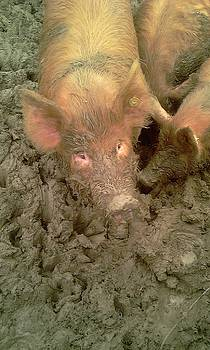 Give us a Kiss - Tamworth pigs Mucking about by Anthony Manders