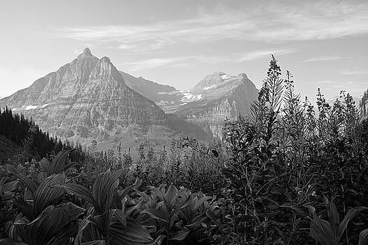 Glacier National Park Fireweed Black and White  by Bruce Gourley