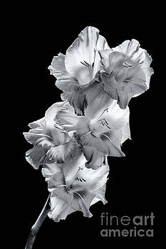 Gladiola in BW by David Perry Lawrence
