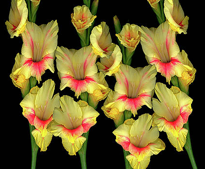 Christopher Gruver - Gladiola Yellow Group