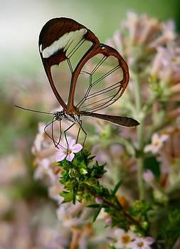 Glasswing by Heather Nel