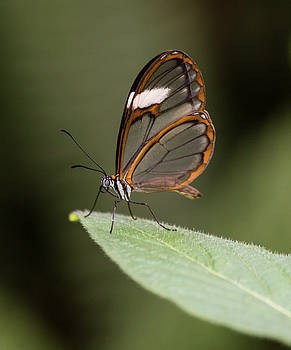 Glasswing on a leaf by Ruth Jolly