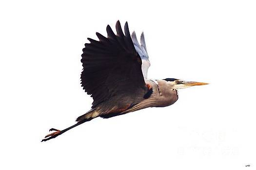 Nick Gustafson - Gliding Blue Heron