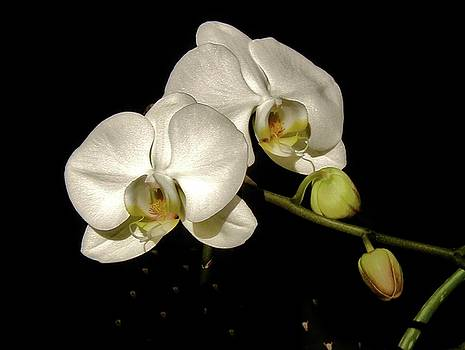 Glissoning Orchids by Diana Dearen