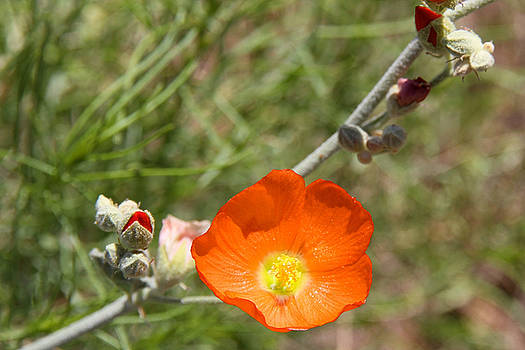 Globe Mallow Bloom by Sharon I Williams