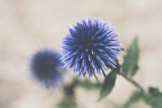 Globe Thistle by Betsy Armour