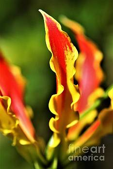Gloriosa Lilly by Tracey Lee Cassin