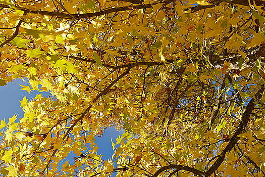 Glorious Fall Maple Leaves by Michele Myers