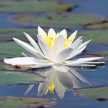 Glorious White Water Lily by Michael Peychich