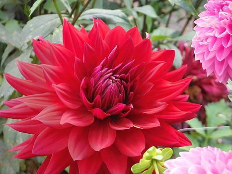 Glory Crimson Dahlia  by Suzanne McDonald