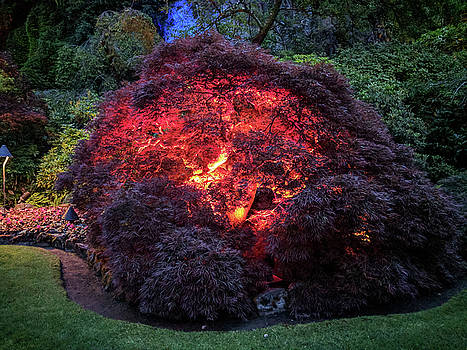 Glowing Japanese maple ball at dusk by Michael Bessler