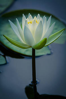 Glowing Lily by Andy Smetzer