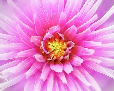 Glowing Pink Dahlia Bloom by Robert FERD Frank
