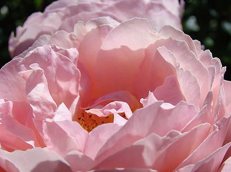 Baslee Troutman - Glowing Pink Rose Flower Giclee Prints Baslee Troutman