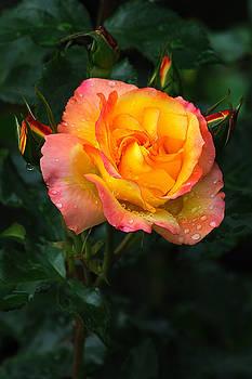 Edward Sobuta - Glowing Rose