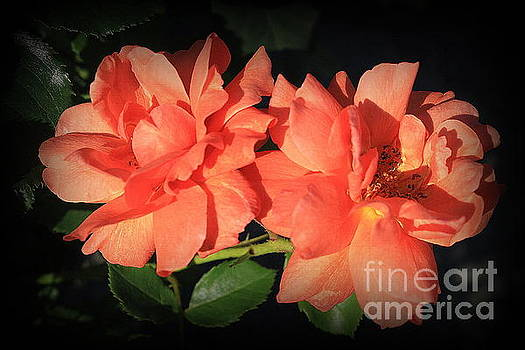 Glowing Tangerine Roses by Dora Sofia Caputo Photographic Design and Fine Art