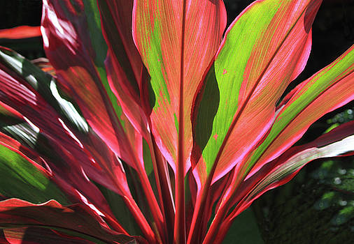 Glowing Ti Leaves by Bonnie Follett
