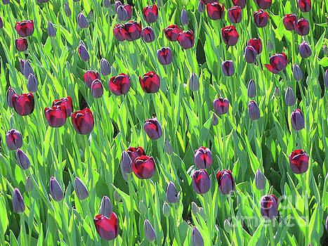 Glowing Tulips by Stephen Shub