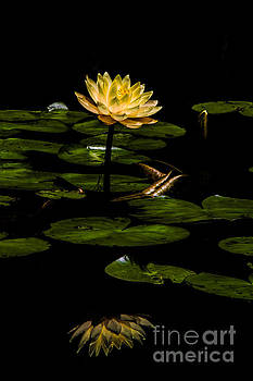 Barbara Bowen - Glowing Waterlily