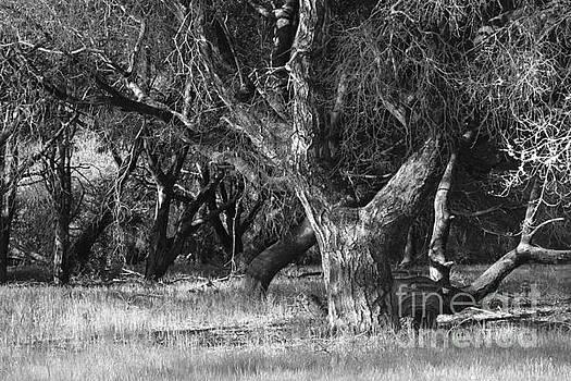 Gnarled Oak by Katherine Erickson