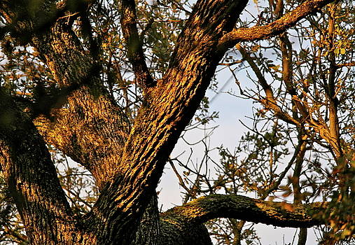 Gnarled Tree at Sunset by Michele Myers
