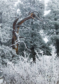 Steve Krull - Gnarly Tree in Snow on Bald Mountain