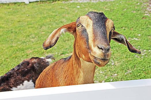 Goat Brown Nubian 2 6242018 goat 2416.jpg by David Frederick