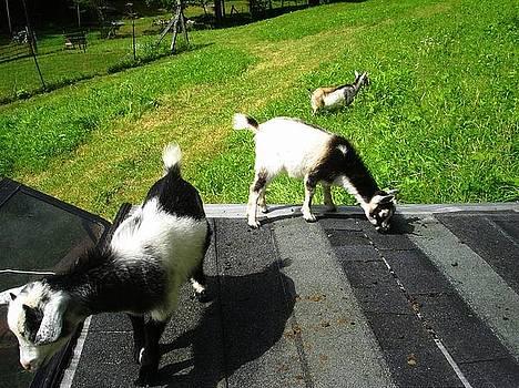 Scarlett Royal - Goat Family