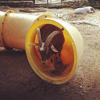 Goat In A Tube by Karen Bosquez