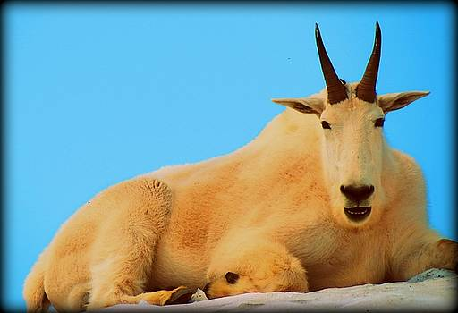 Leah Grunzke - Goat King