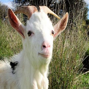Tracey Harrington-Simpson - Goat Portrait