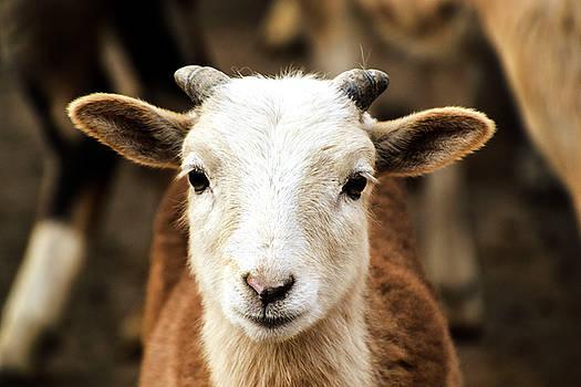 Goat by Sandi Kroll