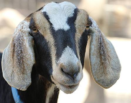 Gary Canant - Goat with Long Ears