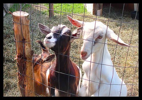 Felipe Adan Lerma - Goats