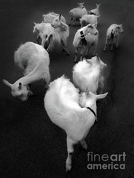 Swiss Goats by Gregory Dyer