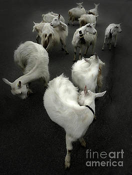 Gregory Dyer - Goats in Switzerland